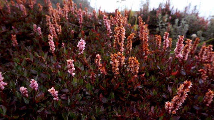 Bistorta flowers in bloom