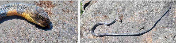 King Cobra at Belligundi waterfalls