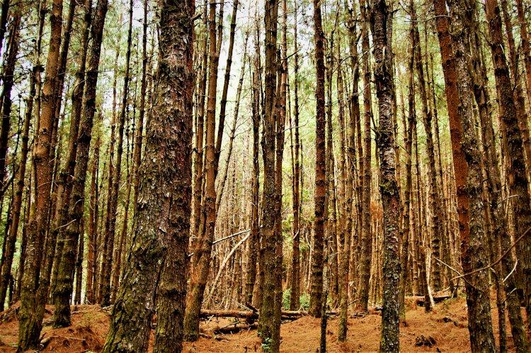 Fir trees Mukurthi peak trek