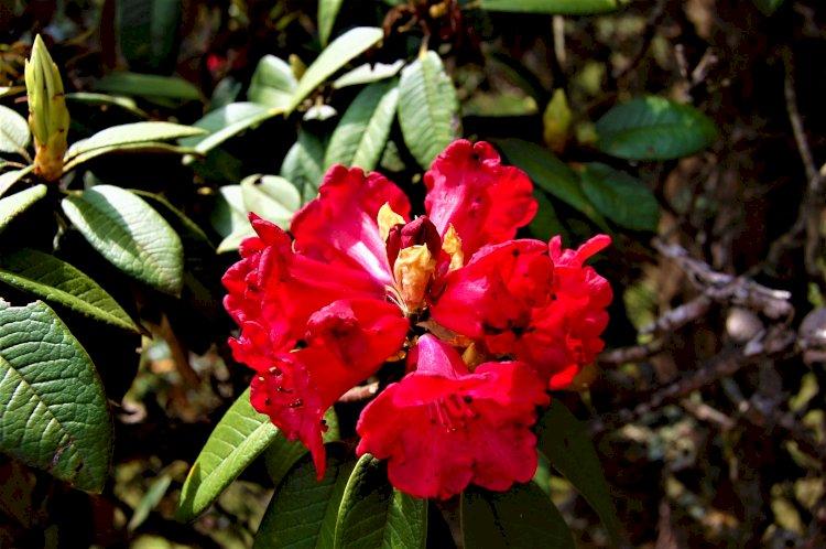 Rhododendron flower Mukurthi peak trek