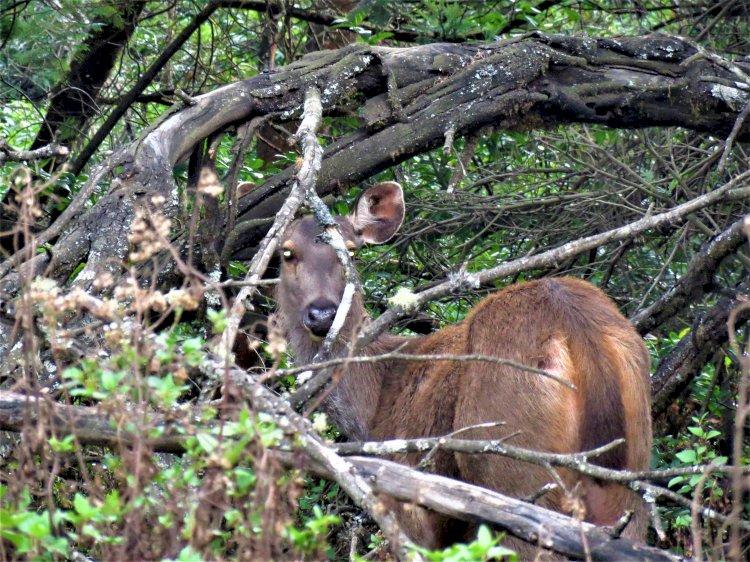 Sambar Deer Mukurthi National Park