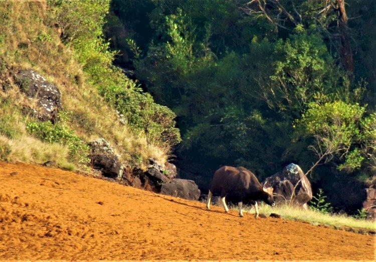 Indian gaur Mukurthi national park