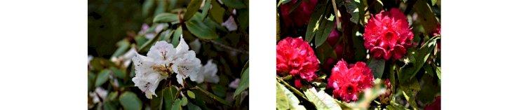 Rhododendron flower Everest base camp trek