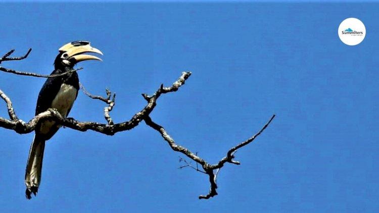 Pied Hornbilll